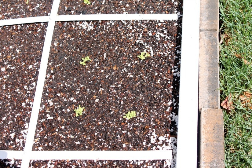 Lettuce growing in a square foot garden.